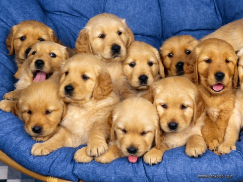 golden-retriever-puppies1